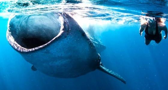 Whale Shark Tour Cancun Riviera Maya