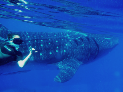 swmwith the whale sharks cancun mexico