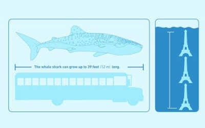 whale shark fast facts