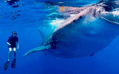 whale-shark-tour-from-cancun-riviera-maya