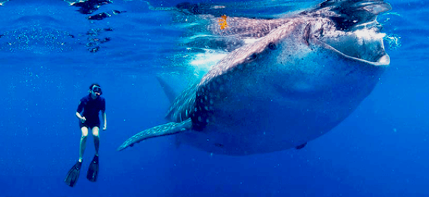 whale-shark-tour-from-cancun-riviera-maya