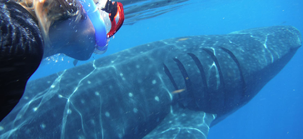 Whale shark 100% nature encounter Cancun Mexico