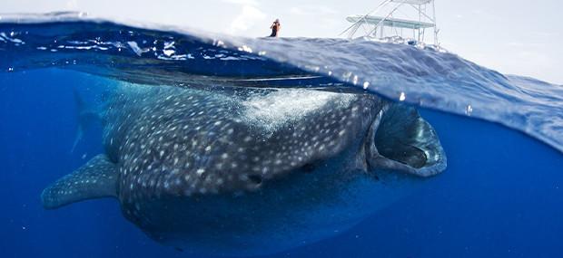 Avoid get scammed Whale Shark Tour Cancun 2016