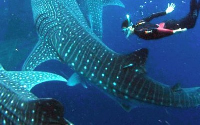 More than 20 whale sharks in one day sighted this week