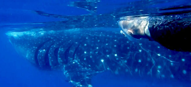 Top Mexico destinations to swim with the whale sharks