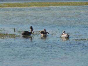 isla balnca birdwatching