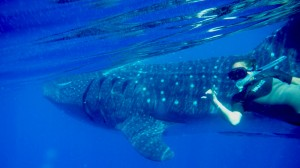 snorkel-with-whale-sharks-cancun-mexico (1)