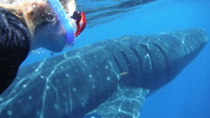 swim-with-whale-sharks-cancun-mexico (1)