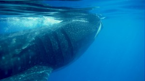 Cancun the top destination of The Whale Sharks
